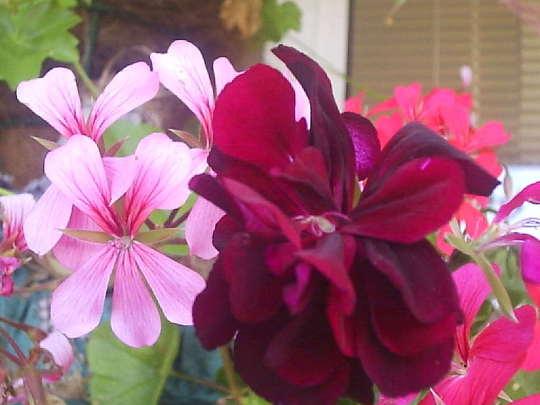 Ivy_leaf_geranium_flowers__Very_close___on_balcony__26-07-08_001.jpg
