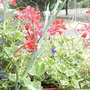 Ivy_leaf_geranium_variagated_08_07_06