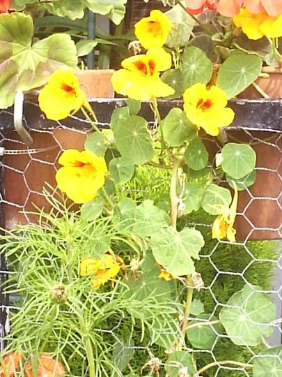 Nasturtiums (Yellow) on balcony  (Nasturtiums)