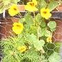 Nasturtiums_yellow_on_balcony_2008_08_16_001