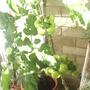 Tomato_plant__Close_up__on_balcony_26-08-08_002.jpg (Solanum lycopersicum (Tomato))