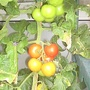 Tomatoes_on_balcony_17_09_07_close_up_