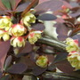 Berberis flowers