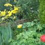 A garden flower photo (kerria pleniflora)