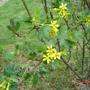 A garden flower photo (ribes odoratum)