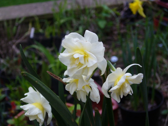 Narcissus 'Cheerfulness?' (Narcissus Cheerfullness)