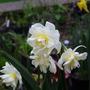 Narcissus 'Cheerfulness?' (Narcissus Cheerfullness)