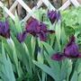 Irises_in_bloom