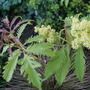 Sambucus_racemosa_in_flower