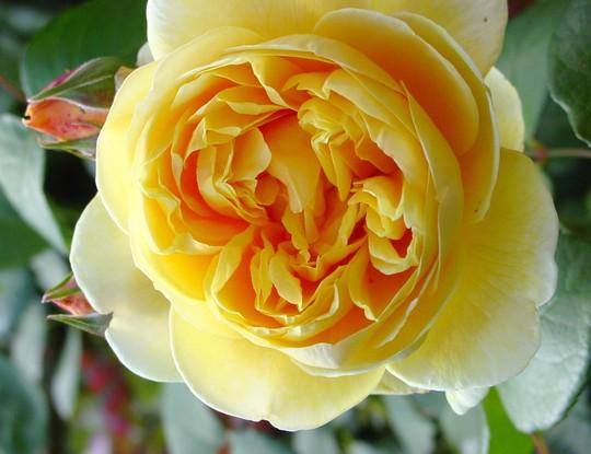Rose 'Charlotte'.