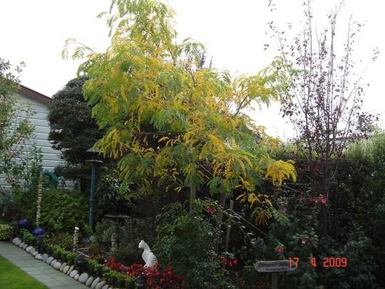 Autumn hits the 'gledistia sunburst'