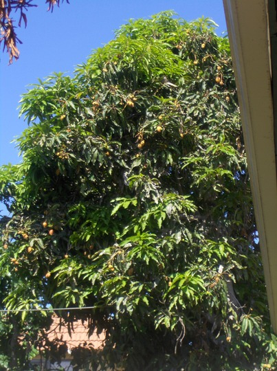Mangifera indica - Haden Mango Tree in San Diego (Mangifera indica - Mango)