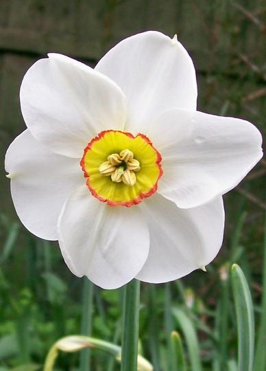 Narcissus 'Phesant Eye' (narcissus)