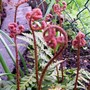Japanese Shield Fern (Dryopteris erythrosora (Japanese Shield Fern))