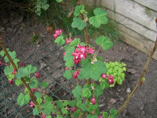 Red Ribes  (Ribes sanguineum (Flowering currant) King Edward VII)