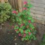 Ribes King Edward VII doing well  (Ribes sanguineum (Flowering currant) King Edward VII)