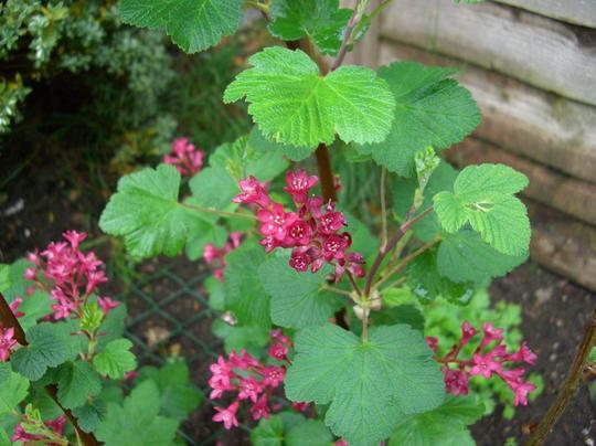 Flowering Ribes (Ribes sanguineum (Flowering currant) King Edward VII)