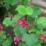 Flowering Ribes (Ribes sanguineum (Flowering currant) King Edward VII)