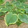 hosta Leading Lady