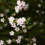 A garden flower photo (diosma hirsula)