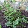 Dryopteris dilatata 'Lepidota Cristata' (Dryopteris dilatata (Breitblattriger Wurmfarn))