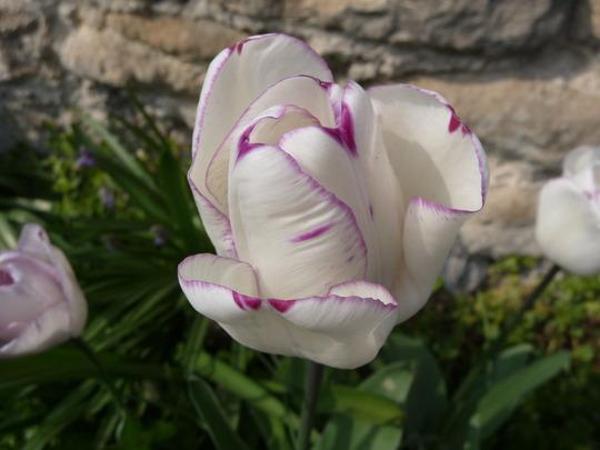 Tulip ' Angelique ' err Not ..