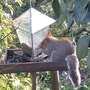 Red Faced Squirrel