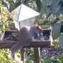 Red faced grey squirrel