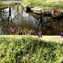 Iris reticulata (Iris reticulata (Iris))
