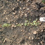 my first turnips