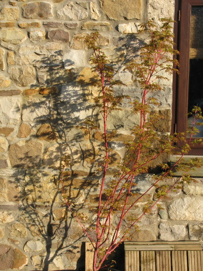 Acer Sangokaku in April2 (Acer palmatum (Japanese maple))