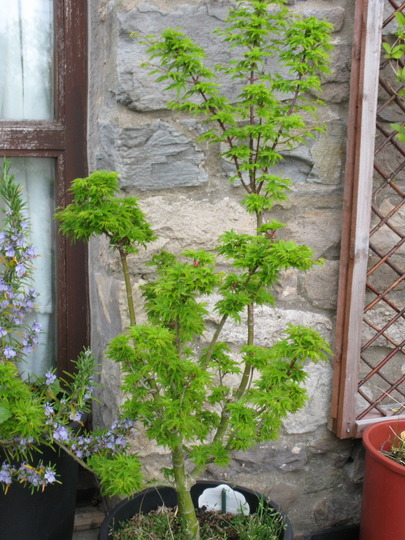 shishigashira in april4 (Acer palmatum (Japanese maple))