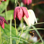 Fritillaria and bee