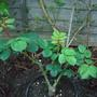 Sill in its container but looking healthy (Rosa Liliana (Poulsyng))