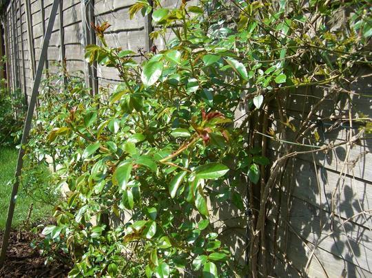 Kiftsgate living it large (Rosa filipes (Rambler rose))