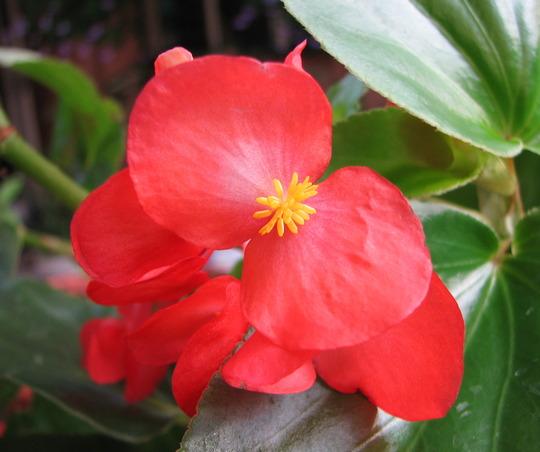 Begonia 'Dragon Wings' (Begonia x tuberhybrida 'Dragon Wings')