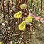 Salyx Caprea (Salix)