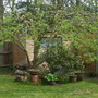 Small apple tree with a weeping effect