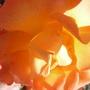Rose A-Glow