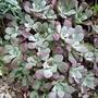 Sedum spathulifolium (Stonecrop)
