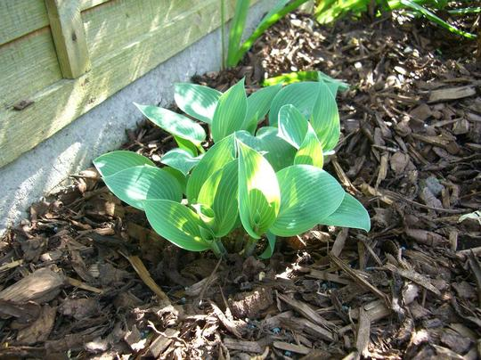 Hosta with some sun behind it