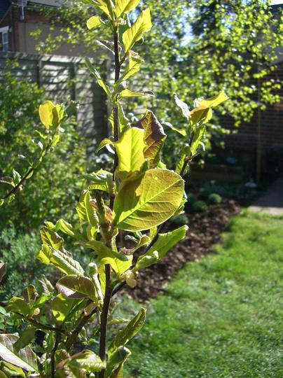 The petals are gone. Here come the leaves (Magnolia Loebneri Merril)
