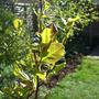 Magnolia_leaves