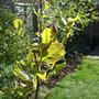Magnolia_leaves