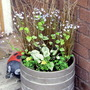 Brunnera in Pot (Brunnera macrophylla (Brunnera))
