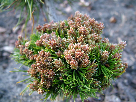 Pinus uncinata 'Ball'