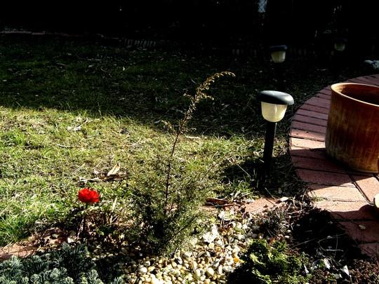 Juniperus chinensis stricta (Juniperus chinensis stricta  (Chinese Juniper))