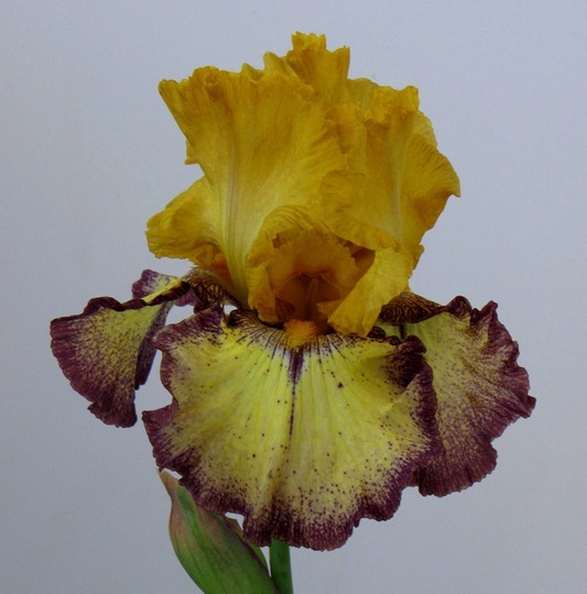 Progressively Forward Fragrant German Iris (Iris germanica hybrids)
