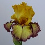 Progressively Forward Fragrant German Iris (Iris germanica hybrids)