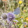 A garden flower photo (Eryngium planum (Sea Holly))
